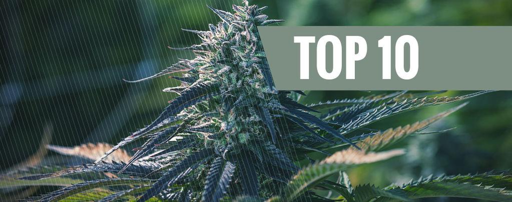 Top 10 Des Variétés De Cannabis Les Plus Exclusives