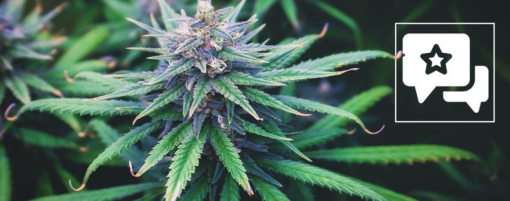 Do-Si-Dos Automatic : Évaluation Et Informations Sur Les Variétés De Cannabis