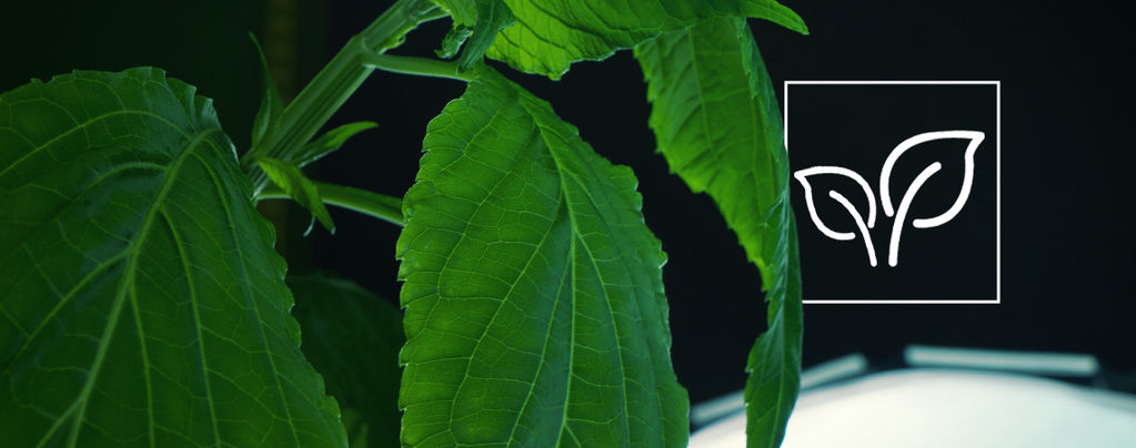 Cultiver Salvia Divinorum
