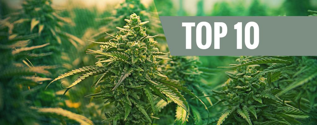 Top 10 - Les meilleures variétés féminisées de cannabis