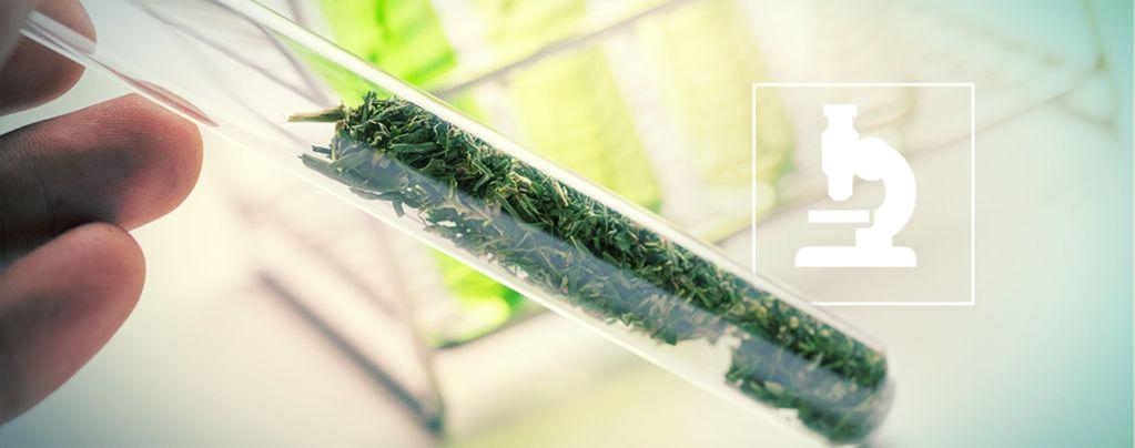 Au-delà des cannabinoïdes : les flavonoïdes, terpènes et terpénoïdes du cannabis