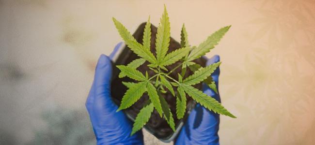 Comment Cultiver Votre Premier Plant De Cannabis En 10 Étapes