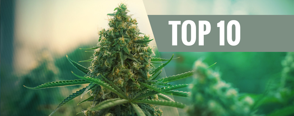 Nos 10 Meilleures Variétés De Cannabis