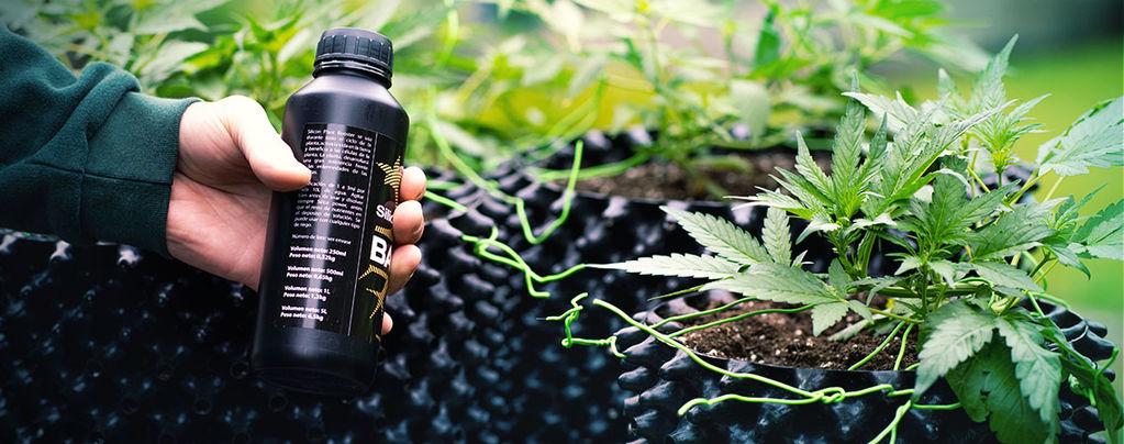 Cultiver Des Méga Têtes De Cannabis Avec La Silice