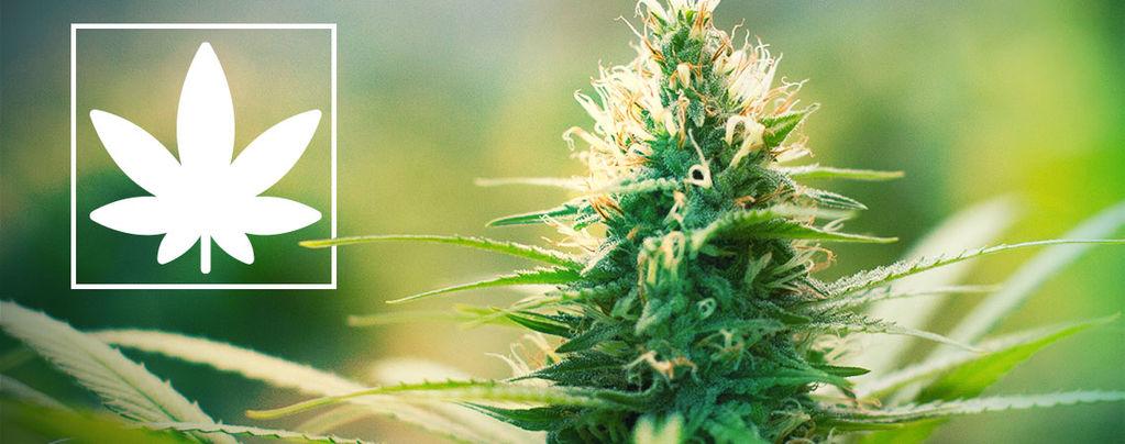 Jack Herer: Activiste pour le Cannabis