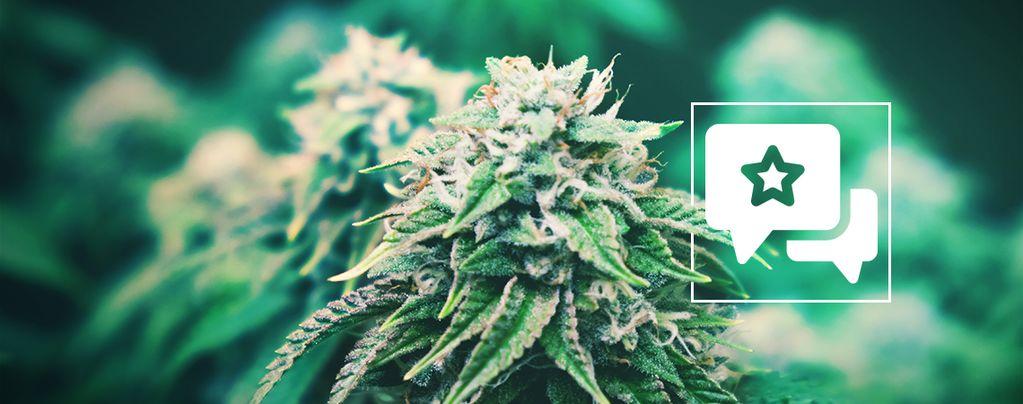 Agent Orange : Évaluation Et Informations De Variété De Cannabis