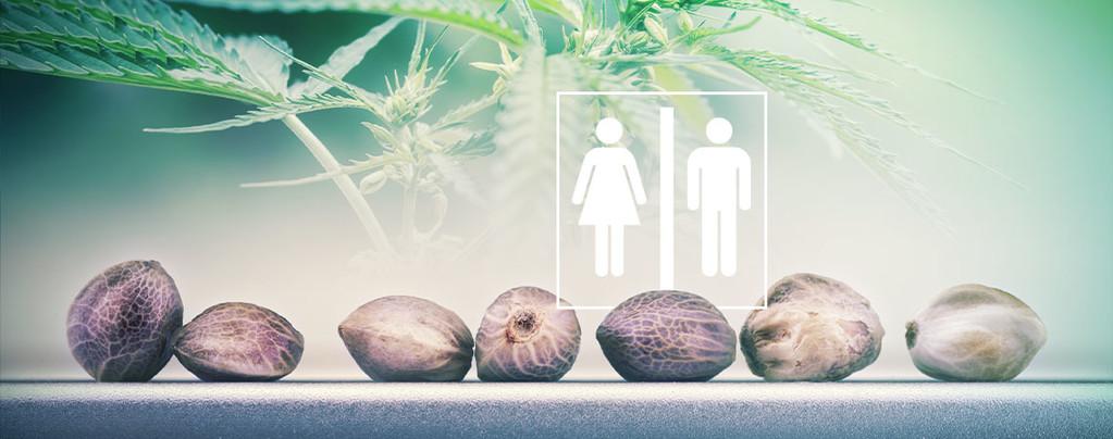 Sexe Des Graines De Cannabis