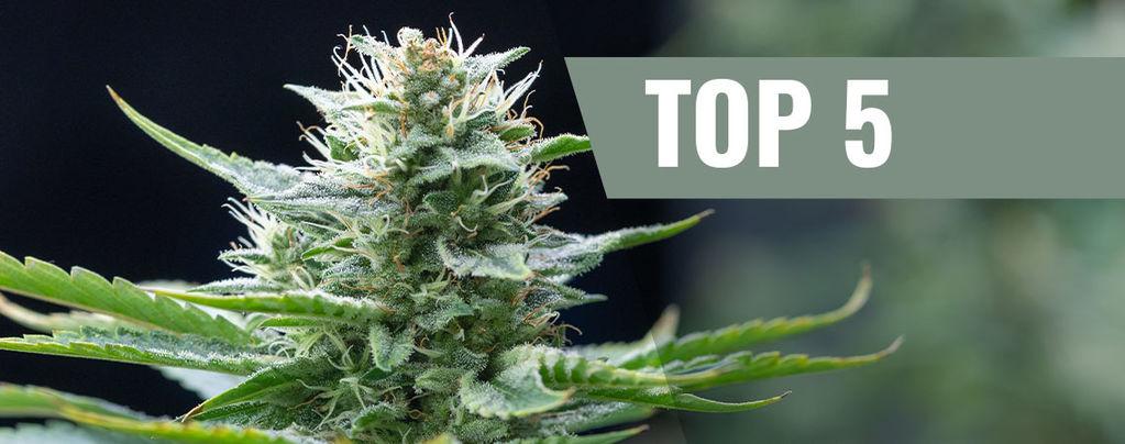 Top 5 Des Variétés Sativa Pour 2018