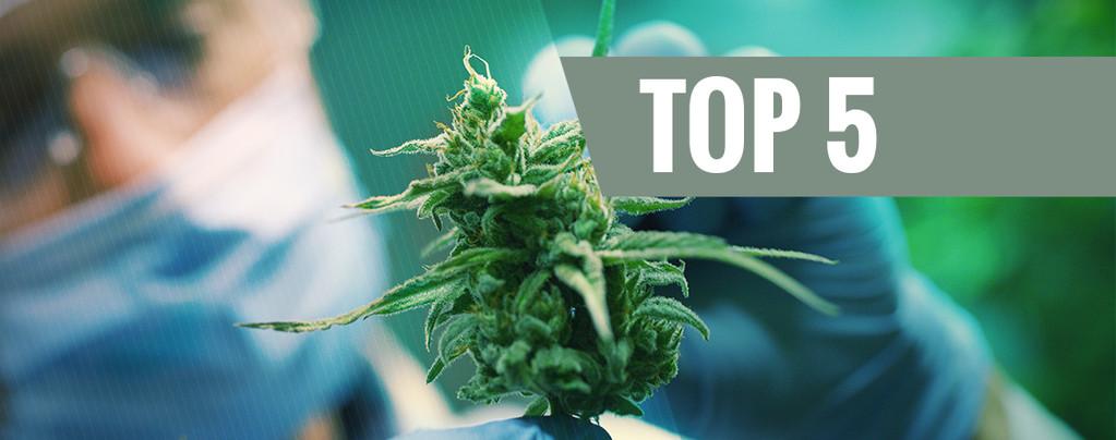 Top 5 des variétés CBD de 2016
