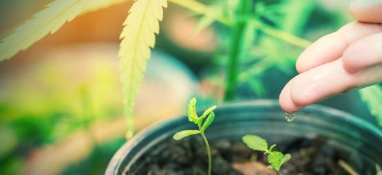 Quelle Est La Meilleure Eau Pour Les Plants De Cannabis