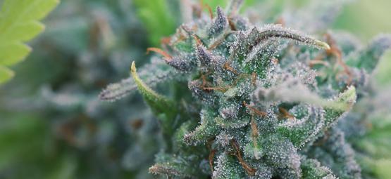 Comment Cultiver Du Cannabis Bio Chez Soi