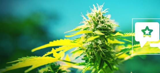 Power Flower : Évaluation & Informations De Variété De Cannabis