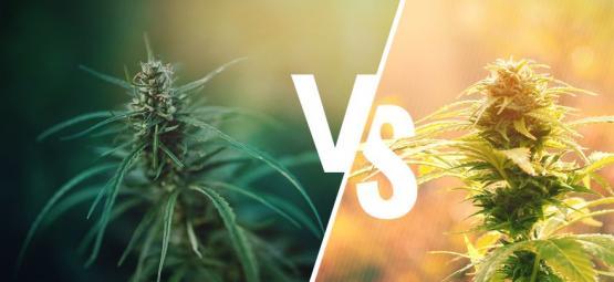 Quelle Est La Différence Entre Cannabis Et Chanvre