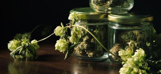 La Surprenante Connexion Entre Cannabis Et Houblon