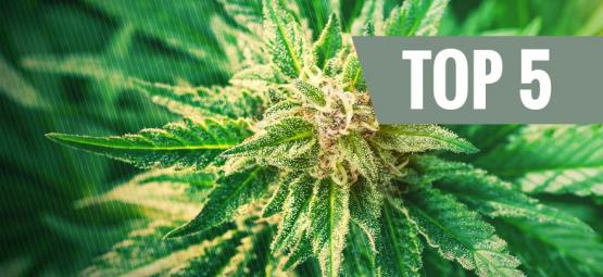 Qu'est-ce que le cannabis ruderalis ?