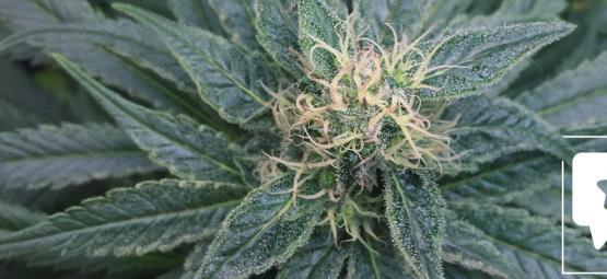Évaluation de Variété: Royal Medic Par Royal Queen Seeds
