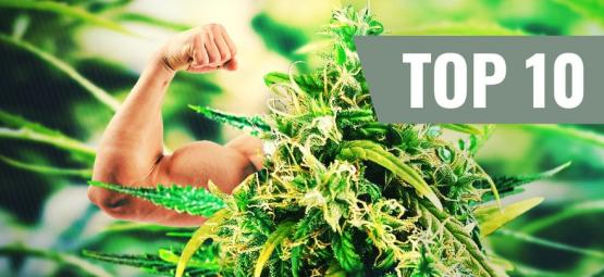 Top 5 Des Plus Fortes Et Plus Puissantes Variétés De Cannabis