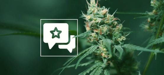Big Buddha Cheese : Évaluation Et Informations De Variété De Cannabis