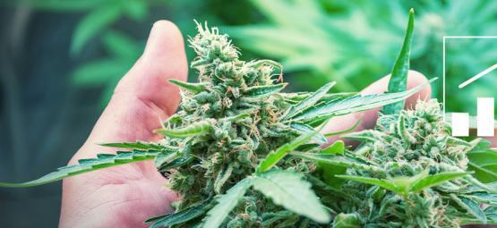6 Manières D'augmenter Ses Rendements De Cannabis