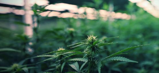 Lampes LED Pour Maximiser Vos Cultures De Cannabis