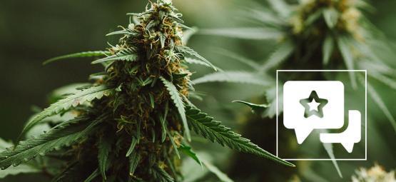Compte-Rendu De Variété De Cannabis: Power Plant