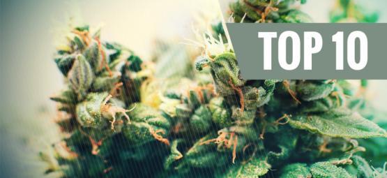 Top 10 Des Variétés De Cannabis Auto-Fleurissantes