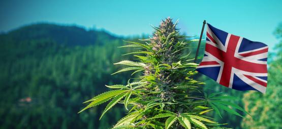 Meilleures Variétés De Cannabis D'Extérieur À Cultiver au Royaume-Uni