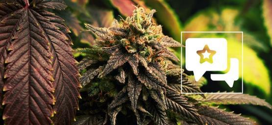 Blue Widow: Évaluation & Informations De Variété De Cannabis