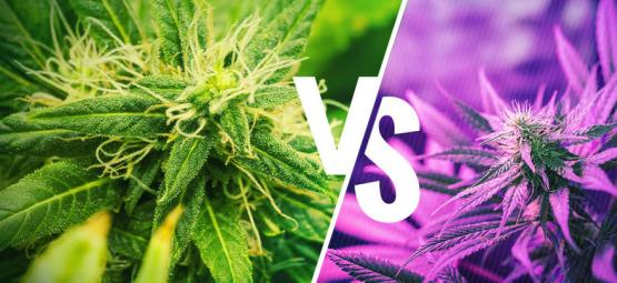 Comprendre les différences entre les variétés Kush et Haze