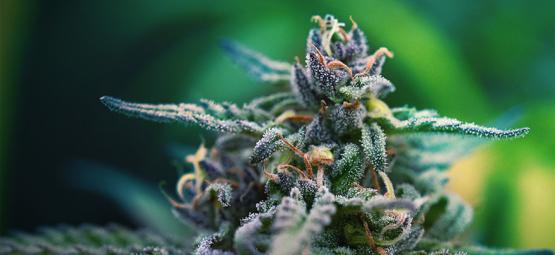 Les Meilleures Variétés De Cannabis Au CBD Et THC Pour La Douleur