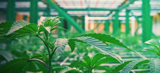 Comment Fonctionne La Culture Verticale Du Cannabis
