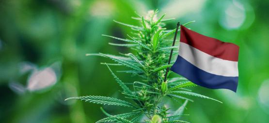 Les Meilleures Variétés De Cannabis D'Extérieur À Cultiver Aux Pays-bas