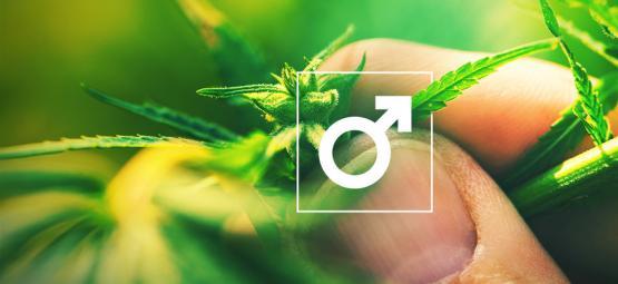 Que Faire Avec Les Plants De Cannabis Mâle ?