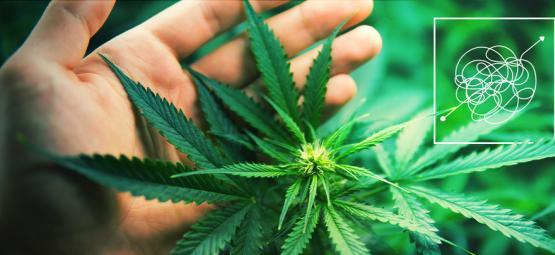 Variétés De Cannabis Dures À Cultiver Et Gratifiantes