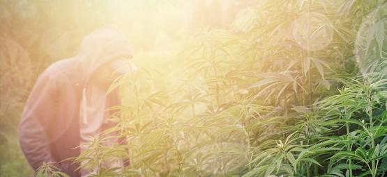 Meilleures Variétés De Cannabis Pour la Culture En Guérilla