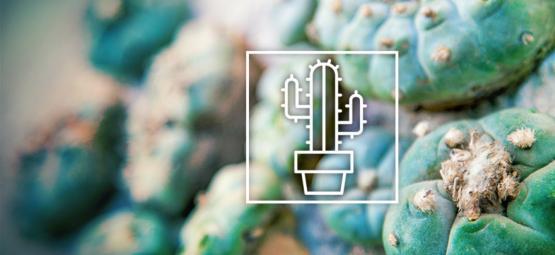 Les Différentes Cactus À Mescalines