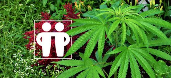 Le Compagnonnage Végétal Pour Soigner Et Protéger Vos Récoltes De Cannabis