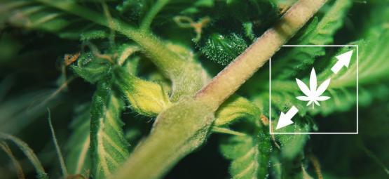 6 Façons De Réduire L'étirement Des Plants De Weed
