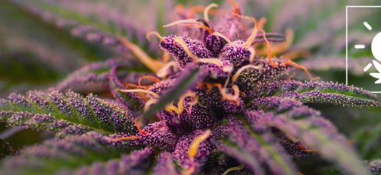 Comment Cultiver Des Têtes De Cannabis Colorées Et Violettes
