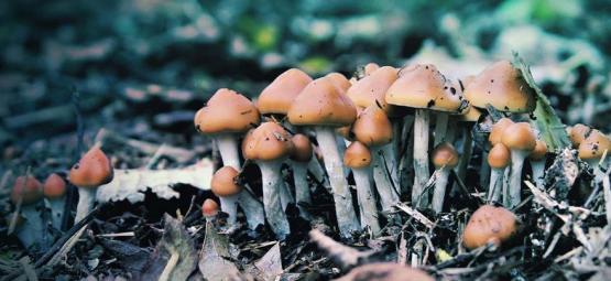Qu'Est-ce Que Le Psilocybe Azurescens Et Comment Le Cultiver ?