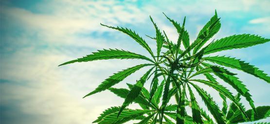 Les Meilleures Graines De Cannabis À Cultiver En Climat Chaud