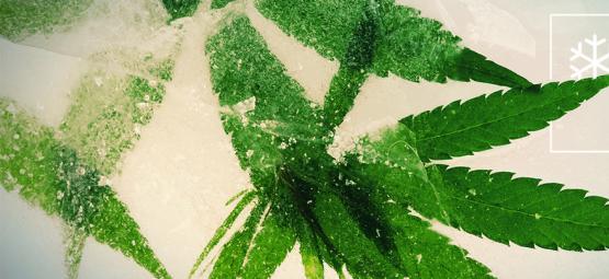 Les Meilleures Graines De Cannabis À Cultiver En Climat Froid