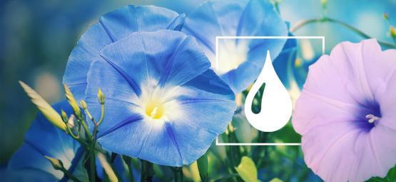 Comment Extraire Du LSA De Graines D'Ipomoea Tricolor & De Liane D'Argent
