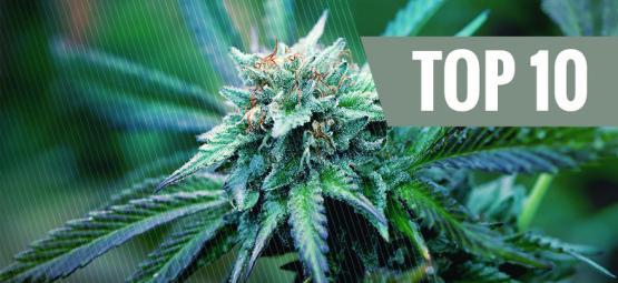 Le Top 10 Des Variétés De Cannabis Thérapeutiques