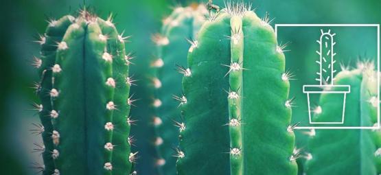 Comment Faire Pousser Et Entretenir Un Cactus San Pedro