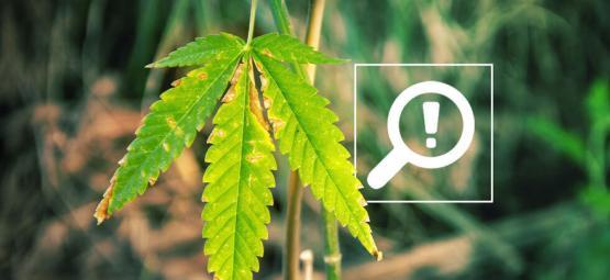5 Problèmes Pouvant Arriver Pendant La Floraison Du Cannabis