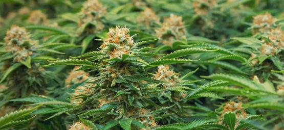 Variétés Spéciales Pour La SOG Par Philosopher Seeds