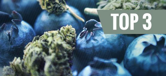 Origines Du Cannabis Blueberry & Top 3 Des Variétés Blueberry