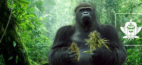 L'origine De La Gorilla Glue Et Le Top 3 Des Variétés De Cannabis Gorilla Glue