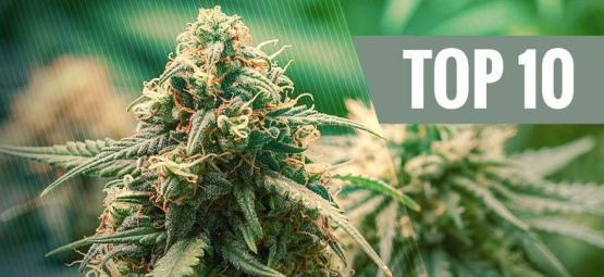Top 10 Des Variétés De Cannabis Hybrides
